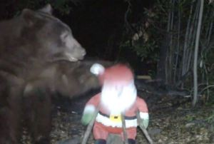 Stuffed Santa Clawed by Black Bear in Angeles Forest