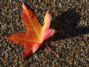 Nevada City Tree Tour Map: Autumn Spectacular