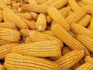Corn. So. Much. Corn.