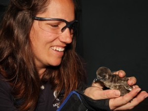 Awww Dept: Penguin Chicks in Monterey