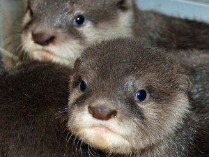 Otter Pups Debut at Santa Barbara Zoo