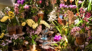 Orchid Fair Soon to Bloom in Santa Barbara