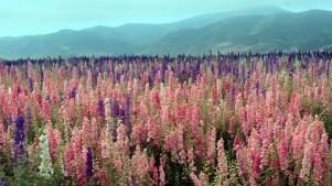 Lompoc: Flower Fields Abloom