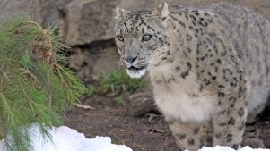 Snow Leopard Fest: Santa Barbara Purrs