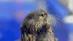 Rescue Otter Finds a Home in Monterey