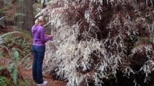 Meet Forest 'Ghosts' on a Rare Redwoods Walk