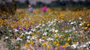 Anza-Borrego: Go Time for Bloom Time