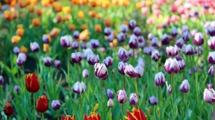 Get Hip to the Tulip Bloom at Descanso Gardens
