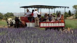 Lavender Love Blooms at a Highland Springs Fest