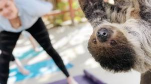 Stretch, Sloth-Like, at an Offbeat Yoga Class