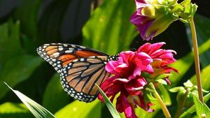 Flutter by a California Western Monarch Celebration