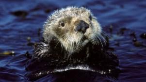 Awww Over Sea Otter Awareness Week