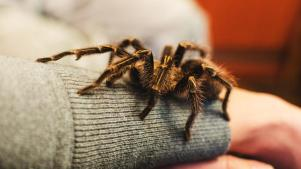 Leg It to Gold Country for a Tarantula Fest