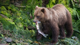 California Man Sentenced, Fined for Illegally Killing Alaska Bears
