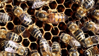 Record Drought Saps Honeybee Production