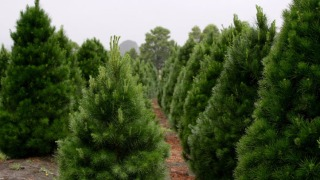Wedding Band Lost for 15 Years Turns up at Christmas Tree Farm