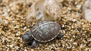 Chinese Turtle-Smuggling Flight Attendants Fined in LA