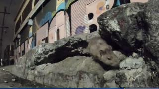 [LA] Rats Could Be Causing Typhus Outbreak in Los Angeles