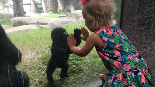 Adorable Zoo Babies: Baby Gorilla Gus
