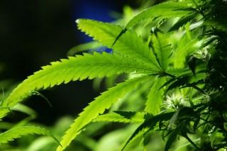 California's Pot Lobby Grows Despite Nebulous Status