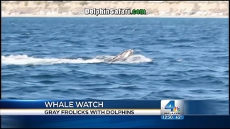 Whales Frolic Off Coast of Dana Point