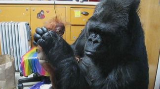 Koko the Gorilla Still Seeking a Family