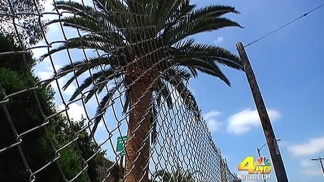 Palm Tree Thefts Investigated