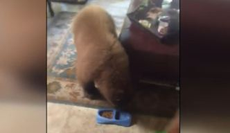 Two Bears Snack on Cat Food in Monrovia House