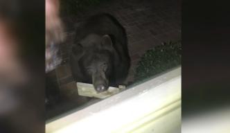 Early Morning Bear Encounter in SoCal Yard