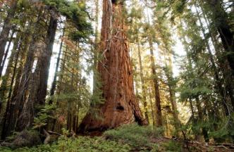 Scientists: Drought Stressing Giant Sequoias