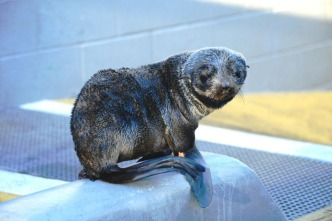 Record Number of Emaciated California Seals Rescued