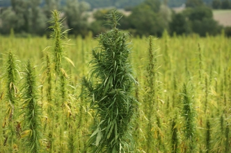 US Hemp Market Set to Boom With Federal Legalization of Hemp