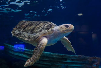 La Jolla Sea Turtle Gets World's First 3-D Printed Shell Brace