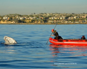 Gray Whale Seen Entangled in Netting is Freed