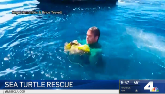 Sea Turtle Tangled in Balloon Rescued