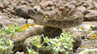 Researchers Track Rattlers' Movements