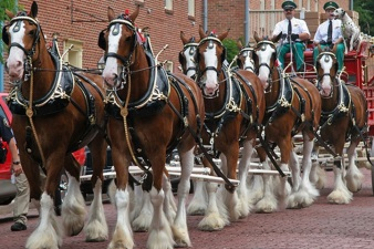 The Budweiser Clydesdales Clip-Clop Into Costa Mesa