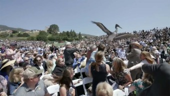 Diving Pelicans Swoop Down on Graduation Ceremony