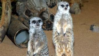 Meerkat Exhibit Bustling With New Activity, LA Zoo Says
