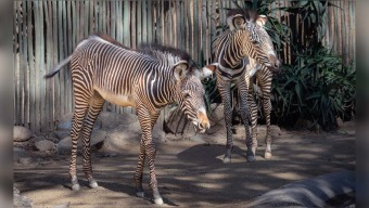 LA Zoo Welcomes a Second Zebra Foal to the Herd