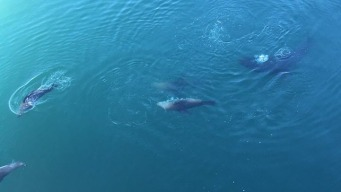 More Great White Sharks Spotted in Santa Cruz