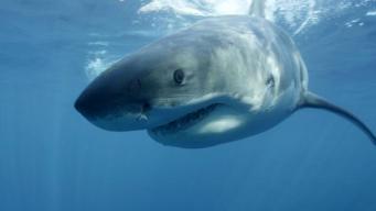 Fisherman Reels in Thrashing 500-Pound Shark