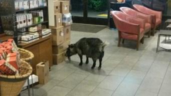 Wayward Goat Wanders Into Calif. Starbucks