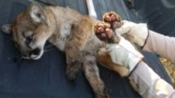 Mountain Lion Cub Burned in Thomas Fire Rescued