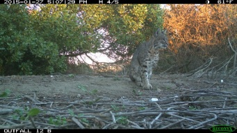 WATCH: Three-Legged Bobcat Released in Santa Monica Mountains