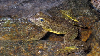 Threat to Frogs Puts Tahoe Forest-Thinning on Hold