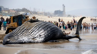 Humpback Whale Carcass Removed From LA Beach