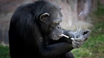 Chimp Smokes Pack a Day at North Korean Zoo<br />