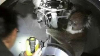 Koala Hitches 10-Mile Ride in Wheel Arch