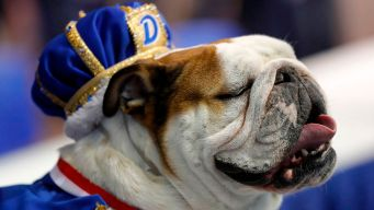 'Bow-Z' Wows Crowd at Bulldog Pageant for Drake Relays